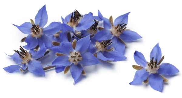 flores de planta de borraja